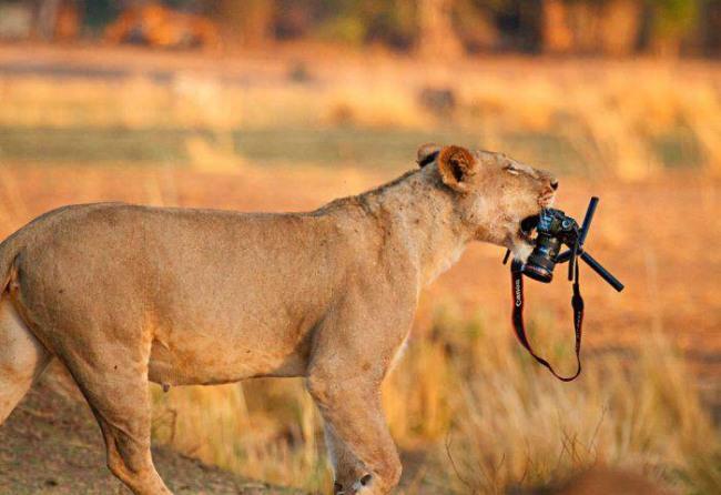 Фото прикол  про льва и фотоапарат