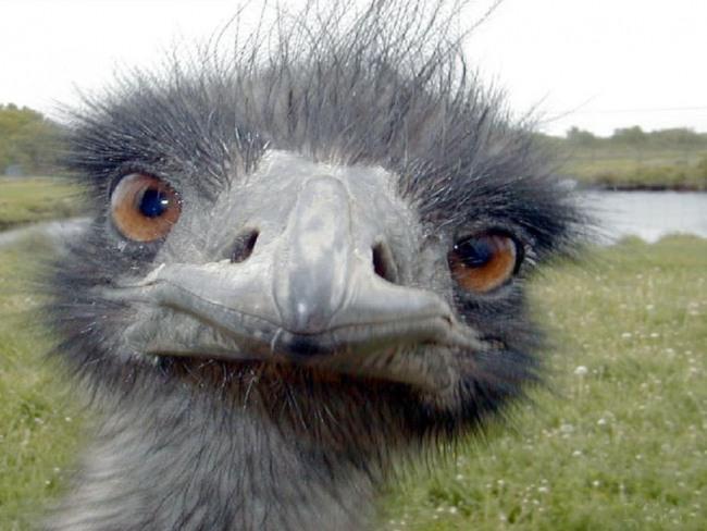Фото прикол  про страусов