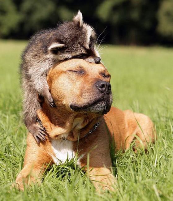 Фото прикол  про енотов и собак