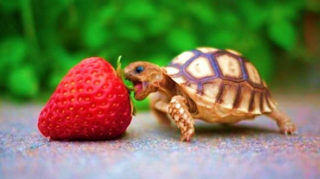 Фото прикол  про черепаху и клубнику