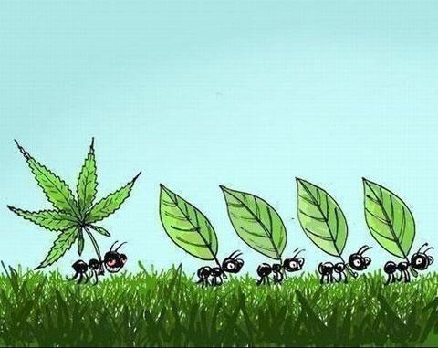 Картинка  про муравьев и коноплю