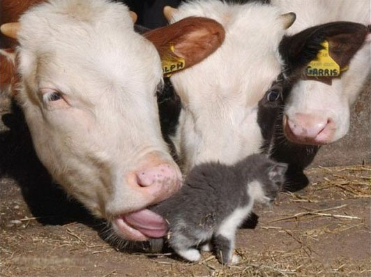 Фото прикол  про корову и котов