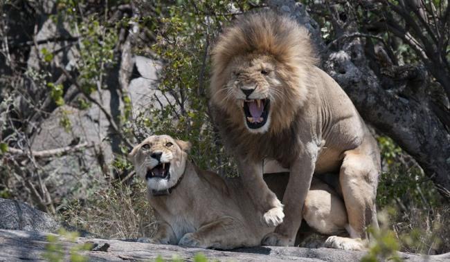 Фото прикол  про льва пошлый