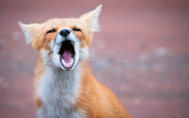Фото прикол  про зевание и лису
