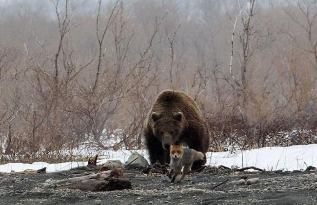 Фото прикол  про медведей и лису