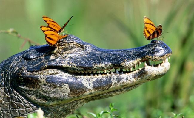 Фото прикол  про крокодилов и бабочек