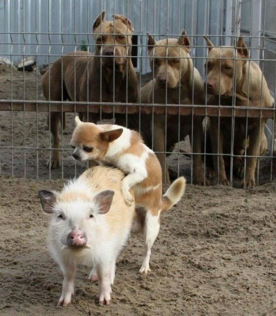Фото прикол  про свиней и собак
