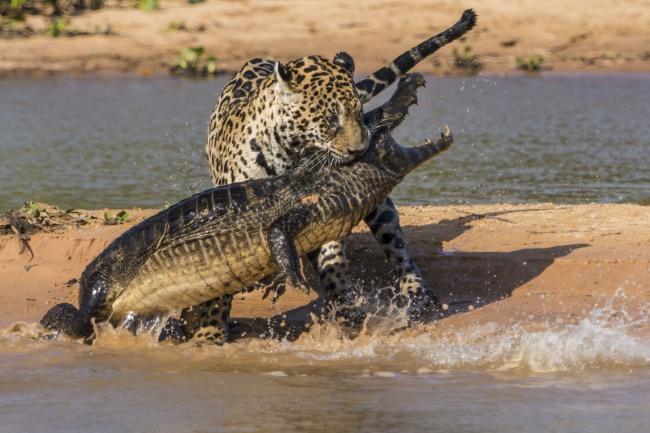 Фото прикол  про ягуара и крокодилов
