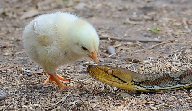 Фото прикол  про цыплят, змей черный