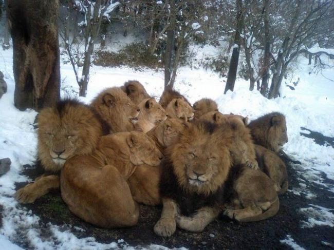 Фото прикол  про льва и зиму