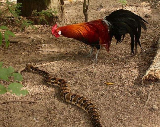 Фото прикол  про змей и петуха