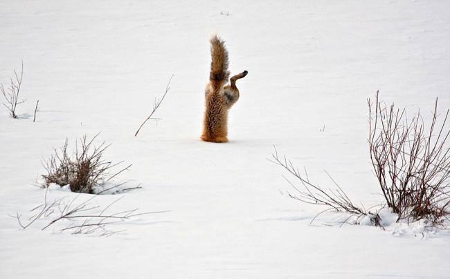 Фото прикол  про лису