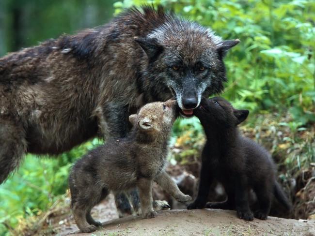 Фото прикол  про волков
