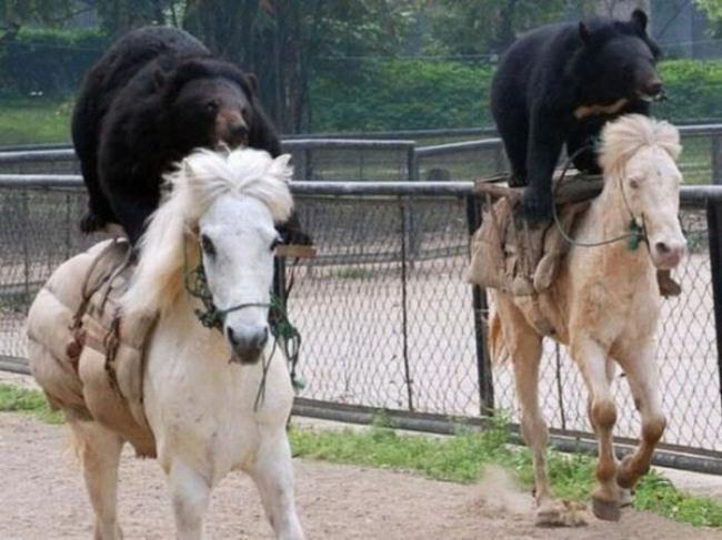 Фото прикол  про медведей и лошадей