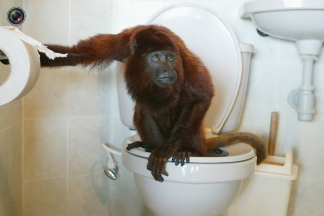 Фото прикол  про обезьян и туалет