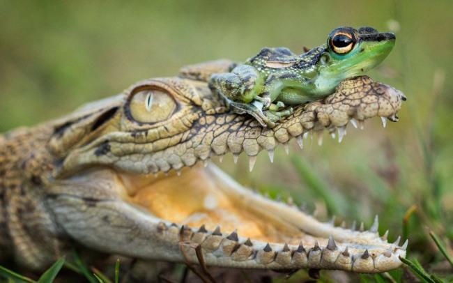 Фото прикол  про крокодилов и лягушек