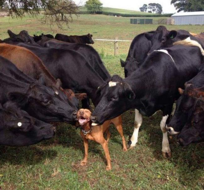 Фото прикол  про собак и корову