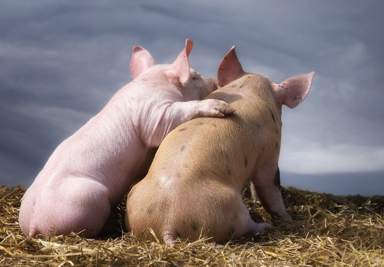 Свинья прикольная картинка