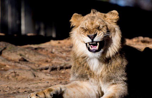 Фото прикол  про льва и смех