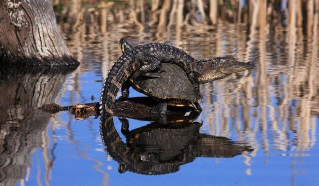 Фото прикол  про крокодилов и черепаху
