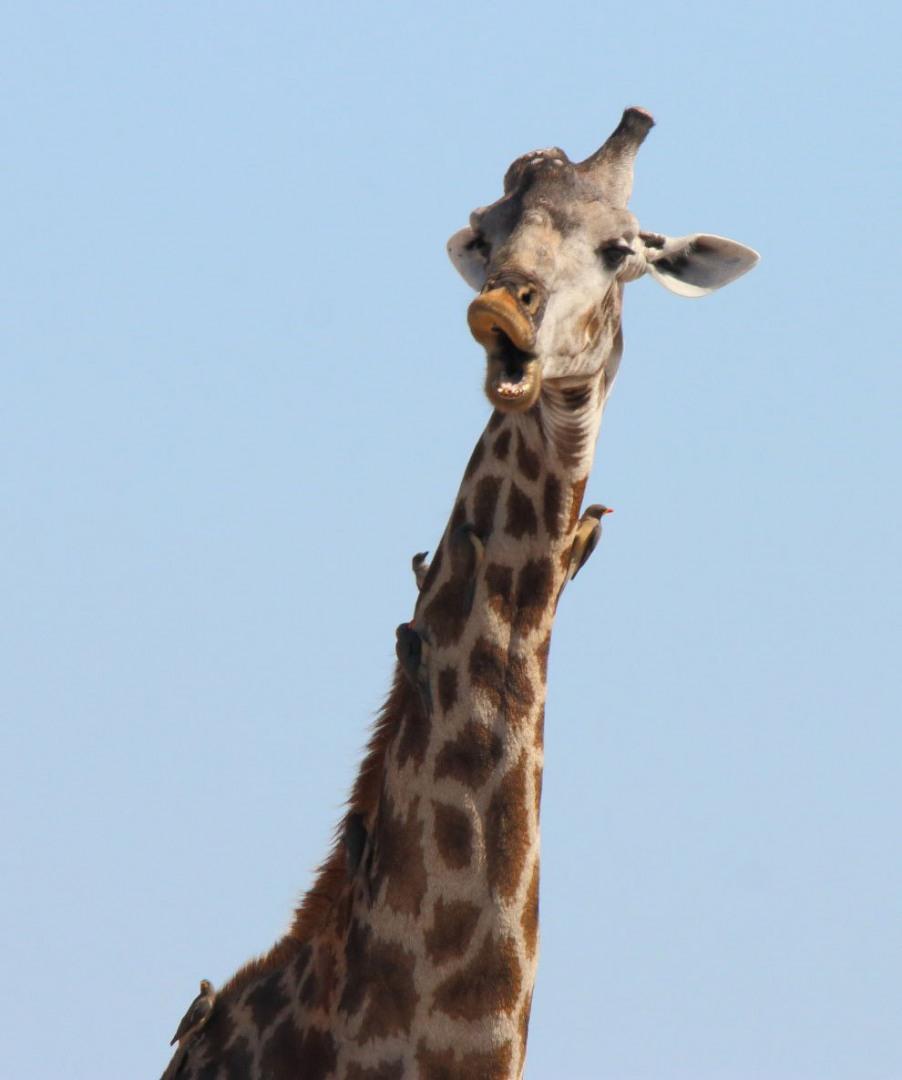 Прикольные жирафы картинки на русском, наде день