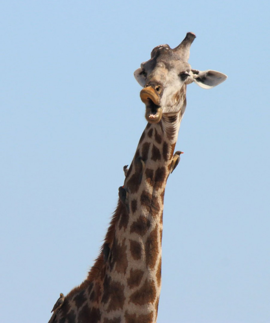 Главному, приколы про жирафов картинки