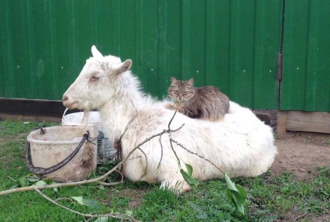 Фото прикол  про козу и котов