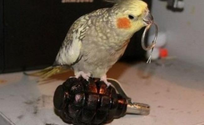 Фото прикол  про попугаев и гранату