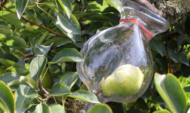 Фото прикол  про грушу