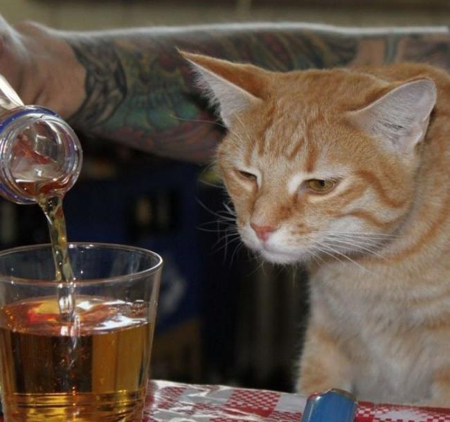 Фото прикол  про котов и алкоглоль