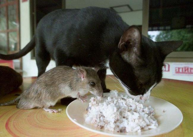 Фото прикол  про котов и крыс