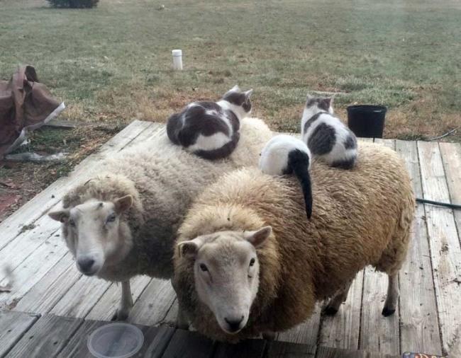 Фото прикол  про овец и котов