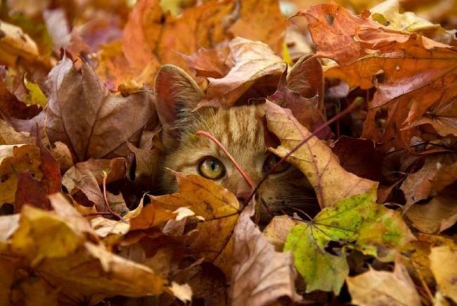 Фото прикол  про котов, листья и осень