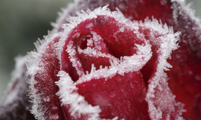 Фото прикол  про розу и мороз