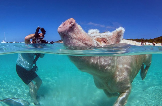 Фото прикол  про свиней