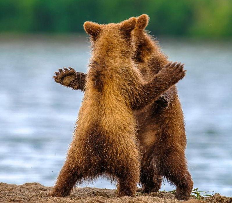 картинка танцующие медведи больше