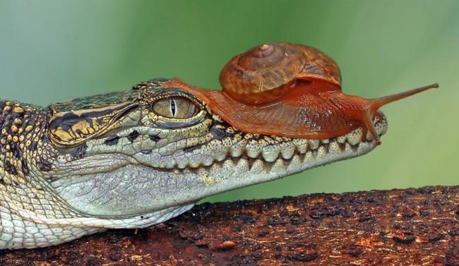 Фото прикол  про крокодилов и улитку