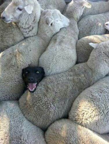Фото прикол  про овец и собак