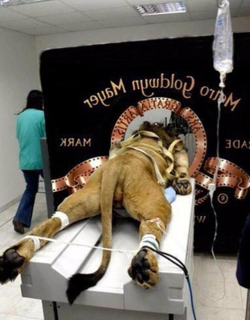 Фото прикол  про льва черный