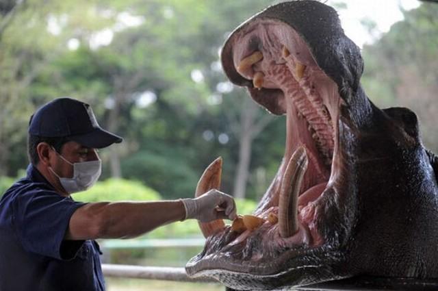 Фото прикол  про бегемота и зубы