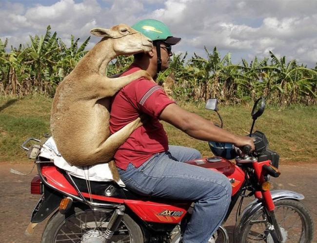 Фото прикол  про мотоциклистов и козу