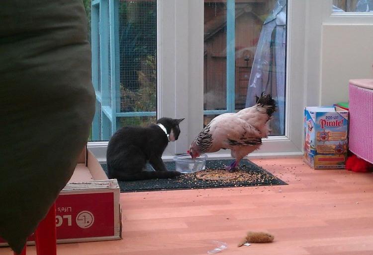 Фото прикол  про котов и кур