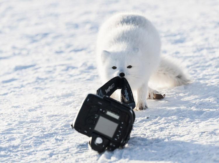Фото прикол  про песца и фотоапарат