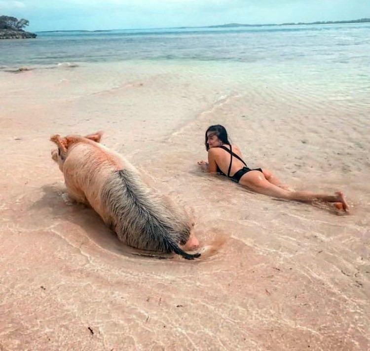 Фото прикол  про свиней и пляж