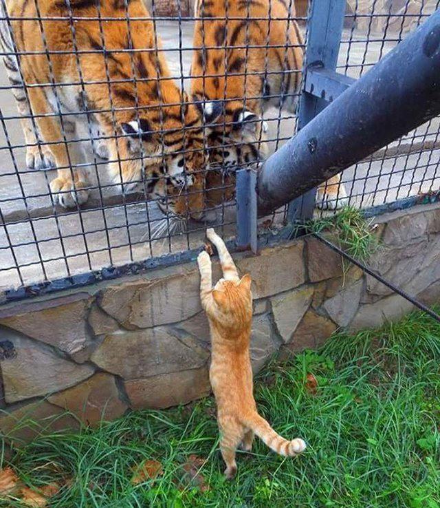 Фото прикол  про котов и тигра