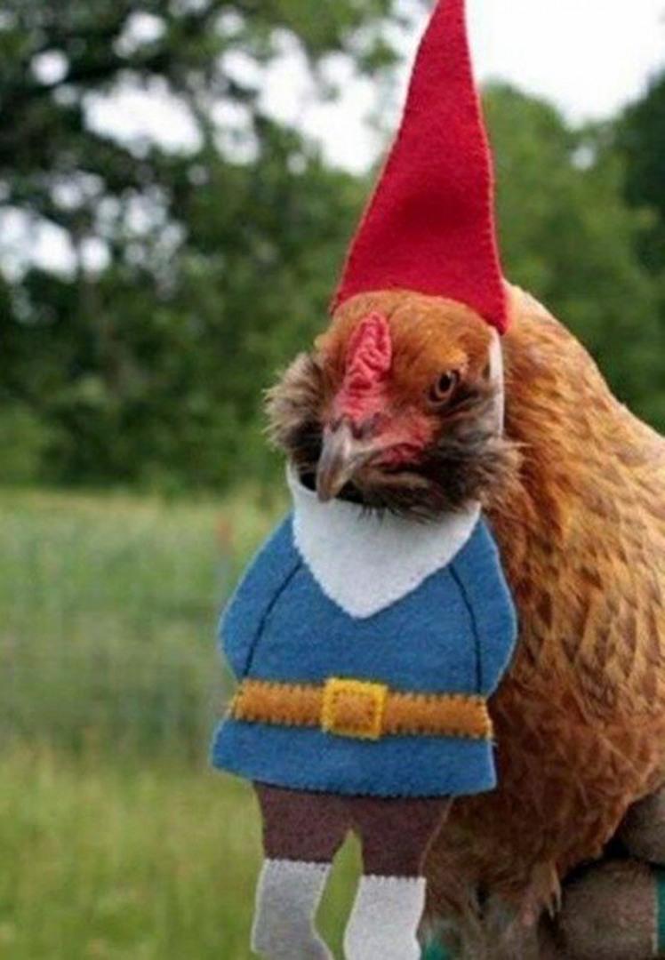 Смешные картинки про куриц