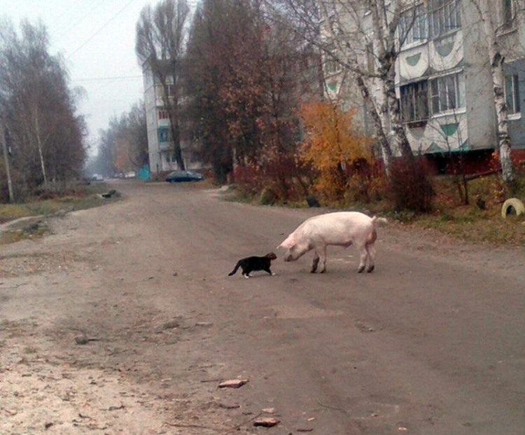 Фото прикол  про котов и свиней