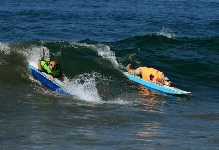 Фото прикол  про собак и серфинг