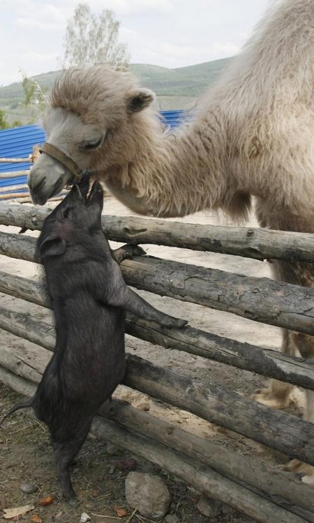 Фото прикол  про кабанов и верблюдов