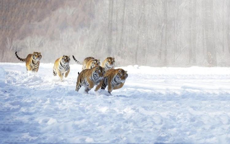 Фото прикол  про тигра и стадо